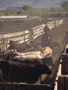 Darrin pushes the cattle into corral